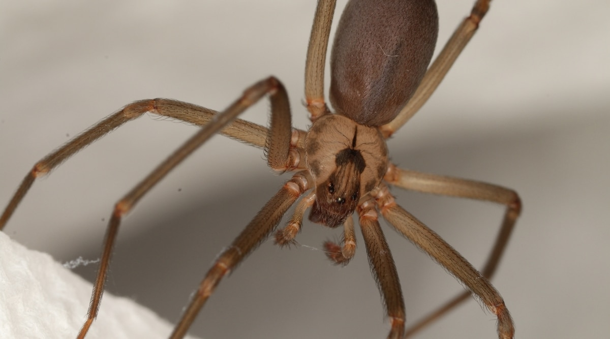 Brown Recluse Spider in Attic