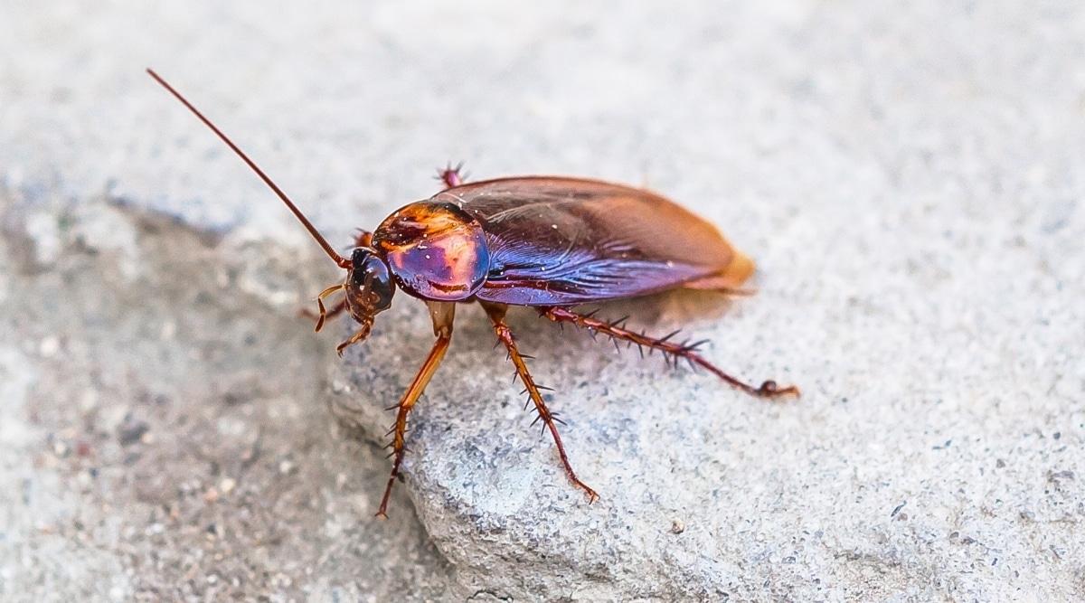 Dangerous Cockroach on Pavement
