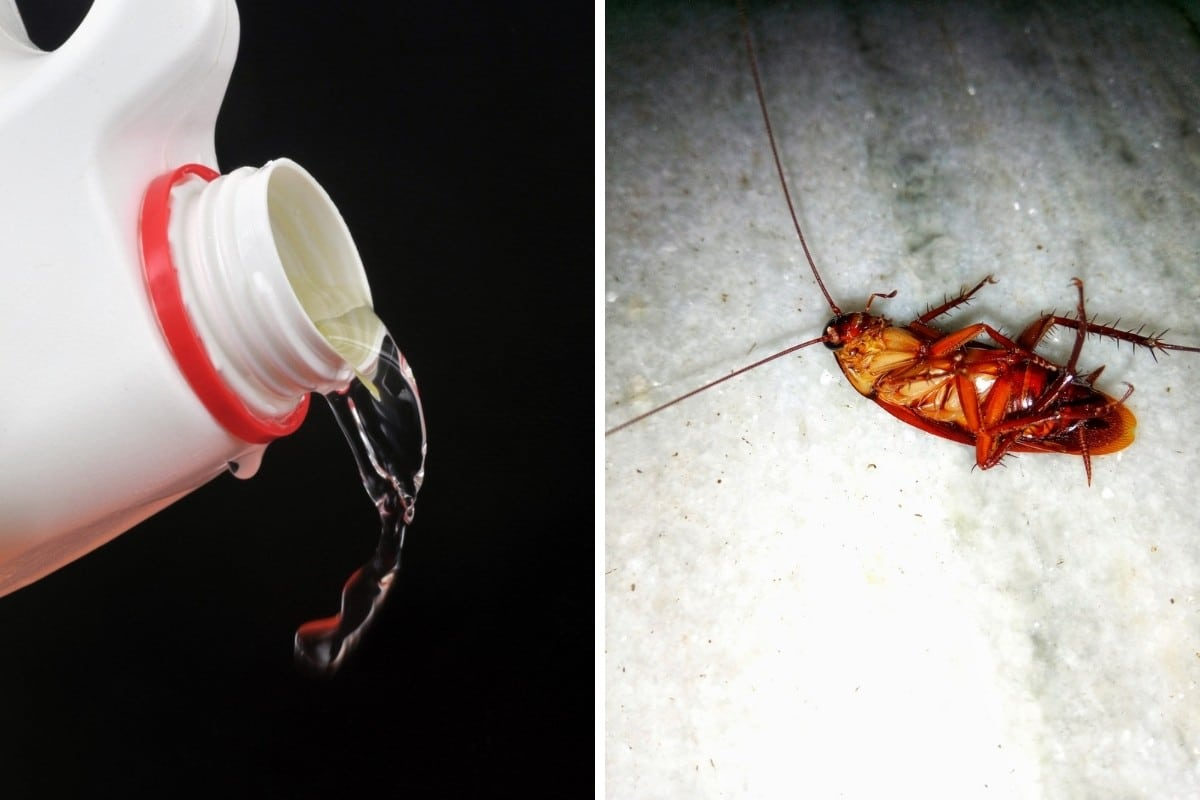 One photo each of bleach and a cockroach side by side
