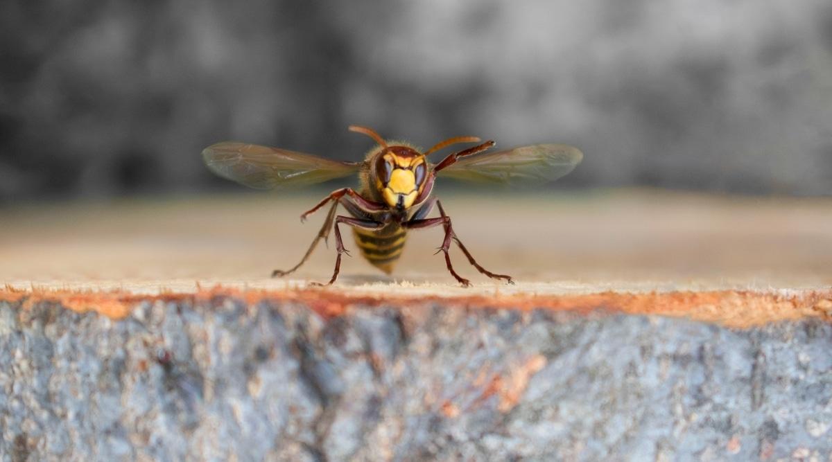 Hornet Flying Around