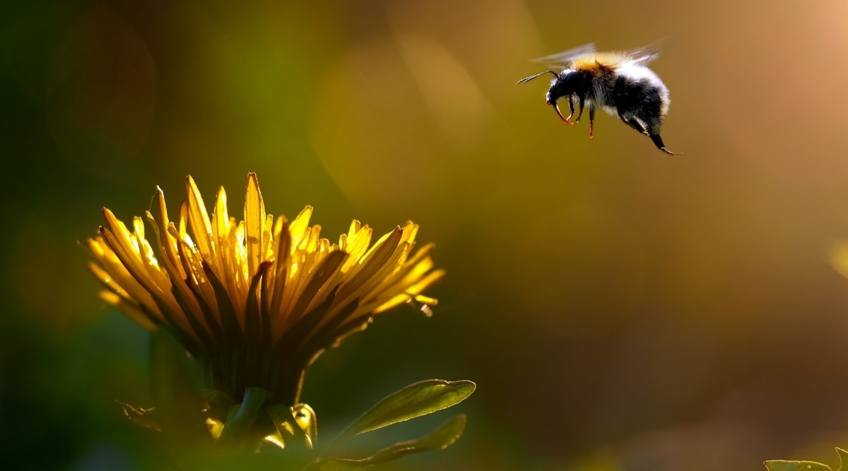 Bumblebee Flying Towards Flower