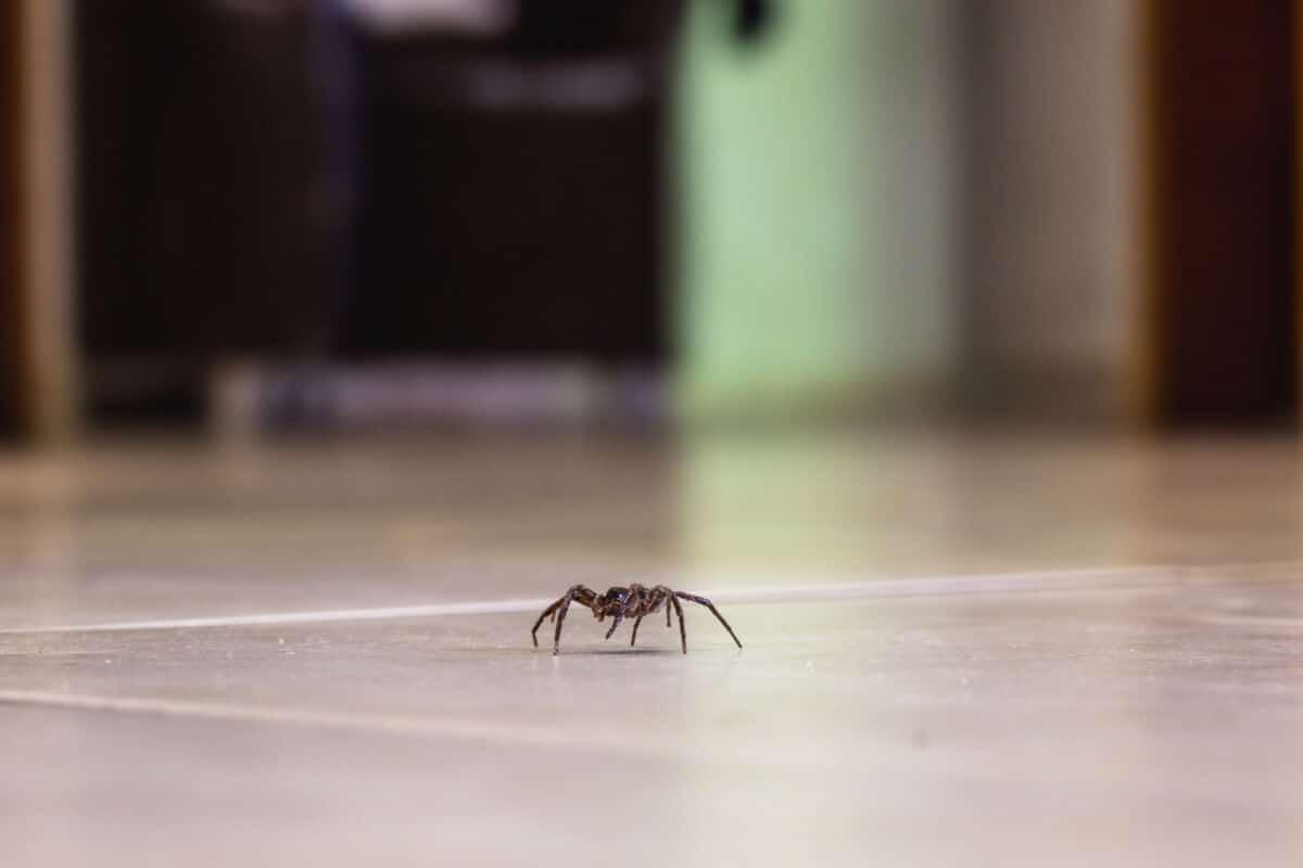 A hopus espider walking across a shiny floor