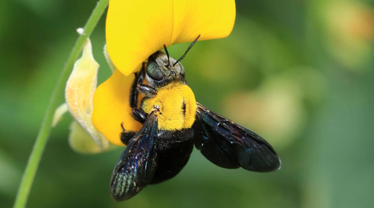 Macro shot of a carpenter bee on a yellow flower
