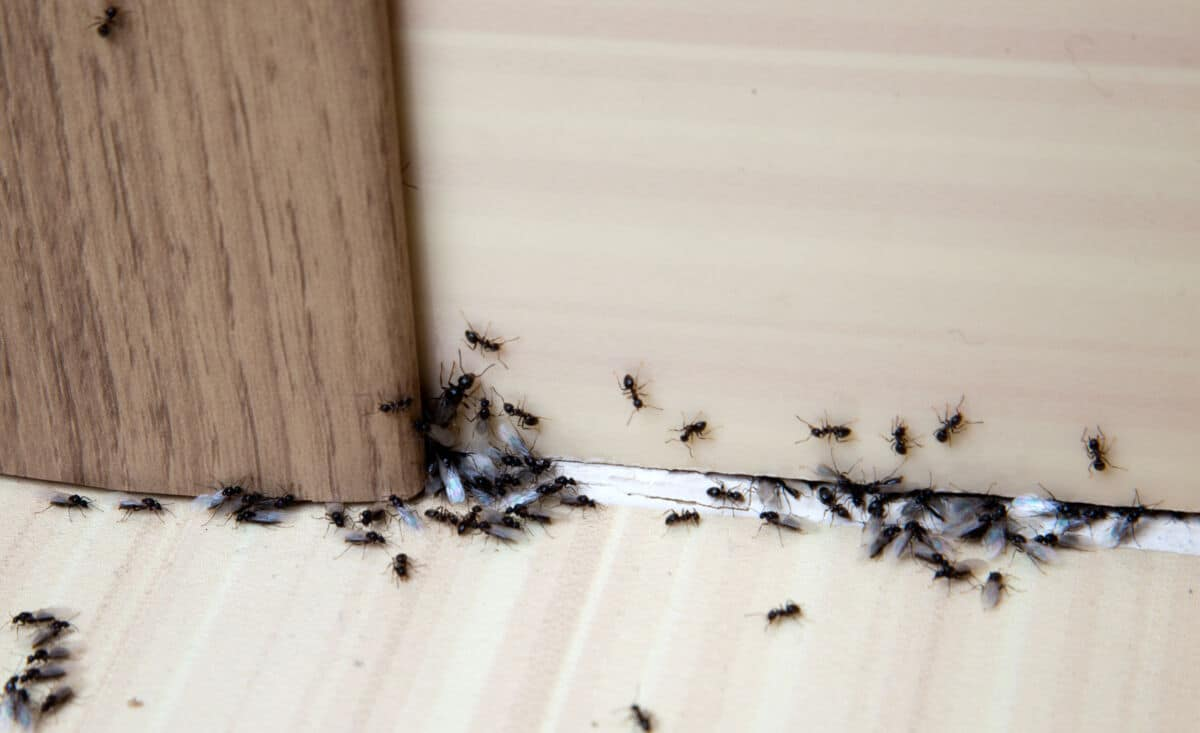 Ants crawling about at the bottom of a door inside a home