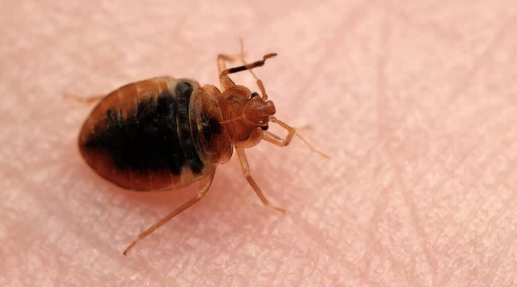 Bed Bug on Human Skin