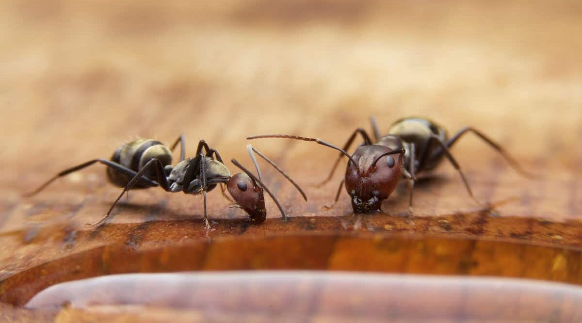 Two ants in a home drinking or eating liquid off a table