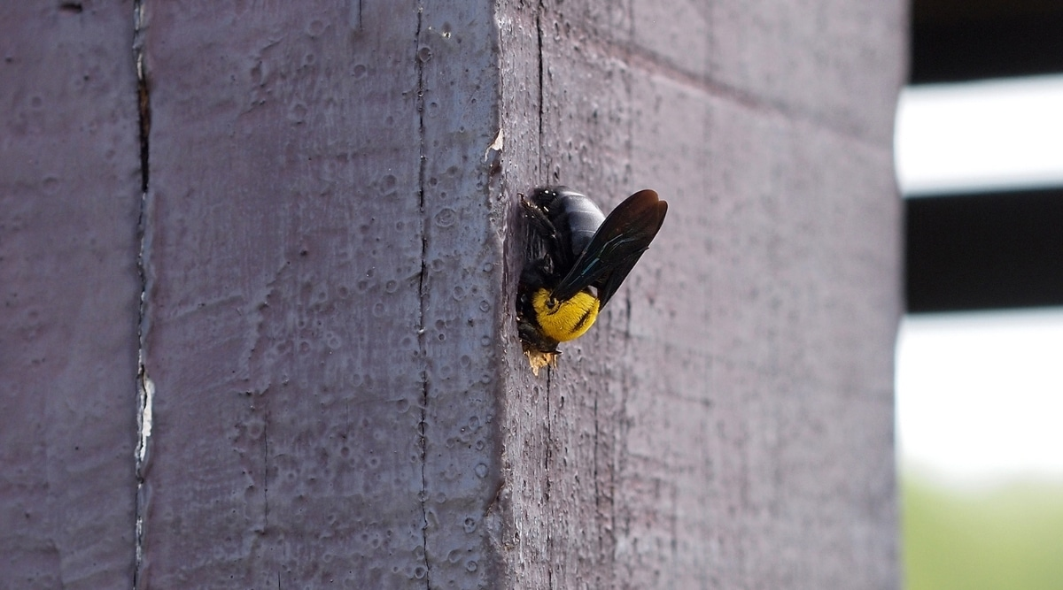 Carpenter Bee Burrowing in Wood