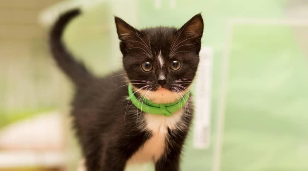Cat with Flea Collar