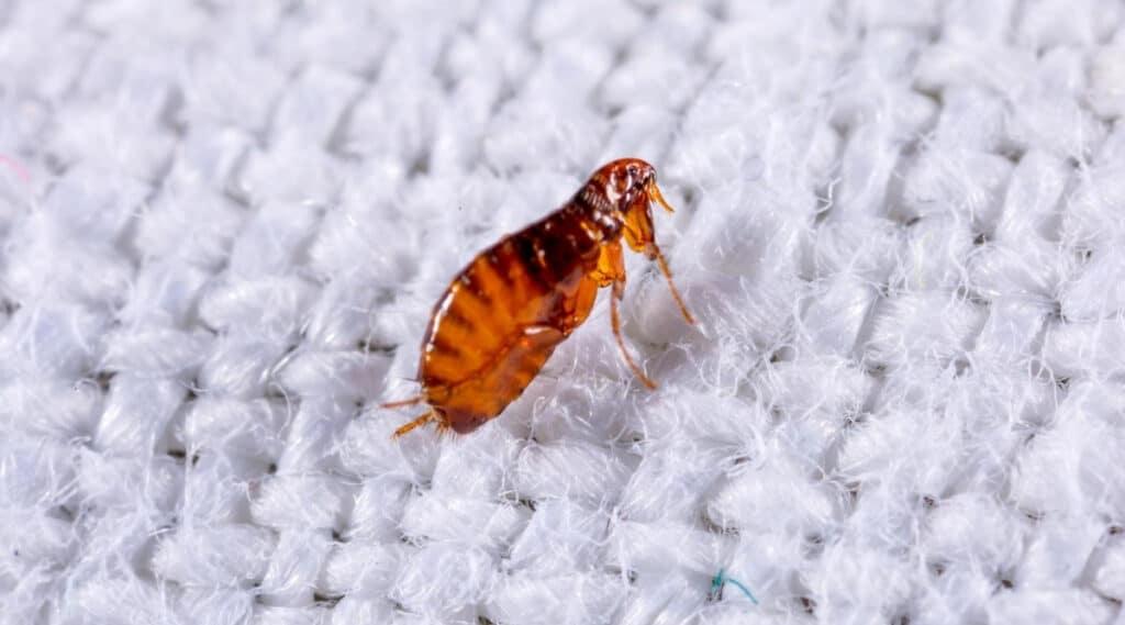 Flea on Carpet