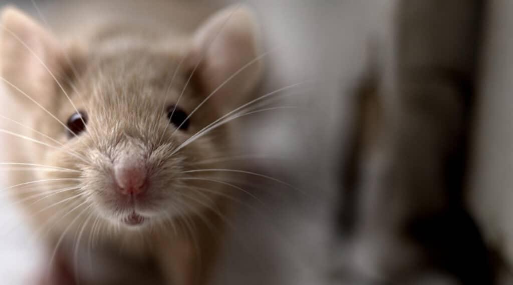 Mice Carrying Fleas