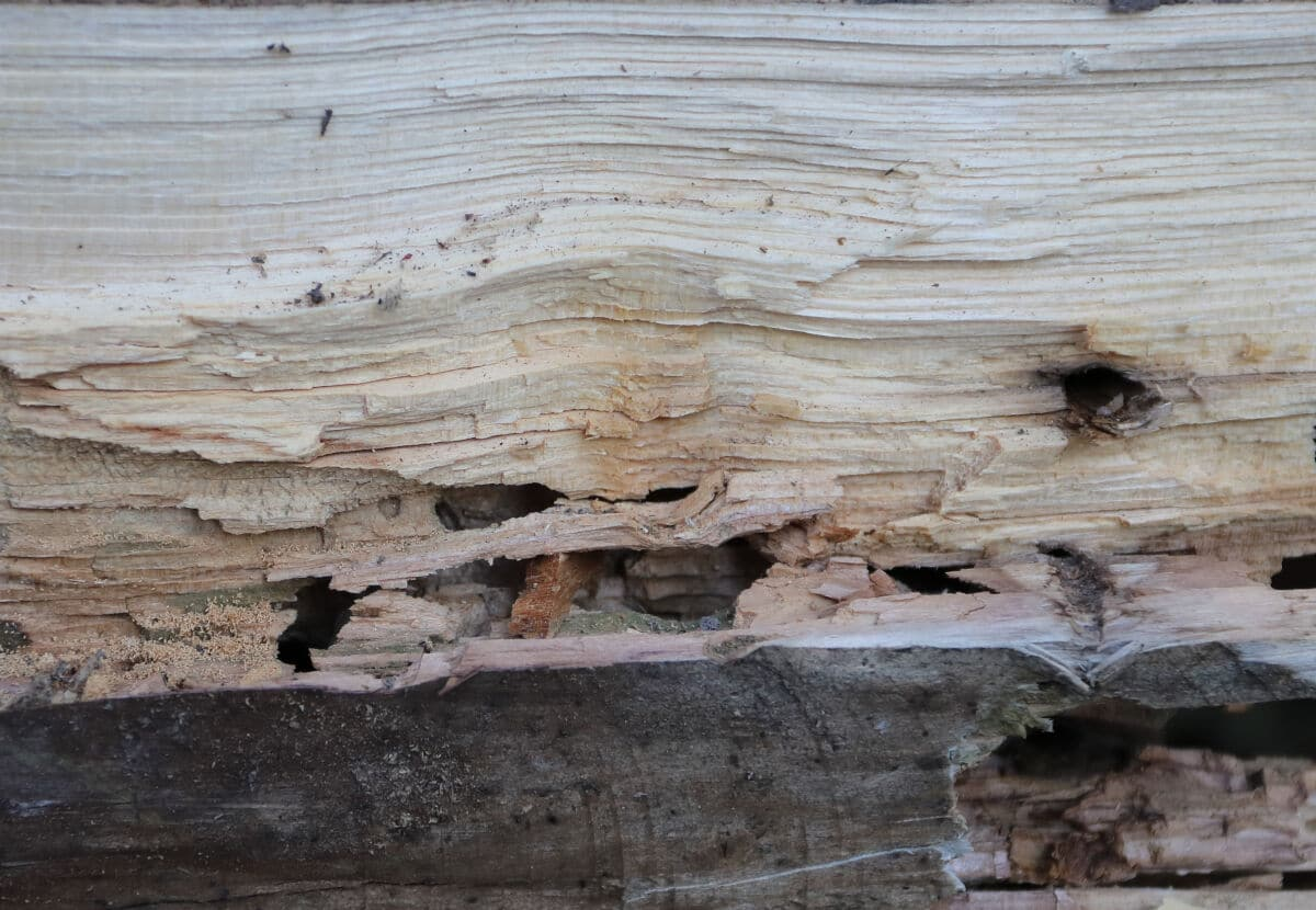 A lok at some carpenter ant chewed wood.