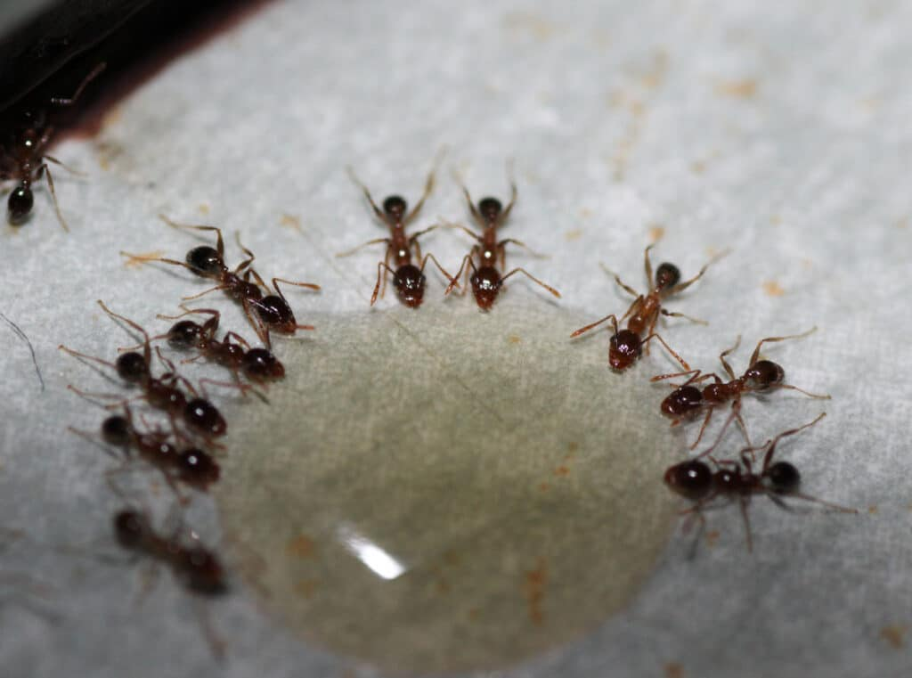Close up photograph of ants consuming bait on a white surface