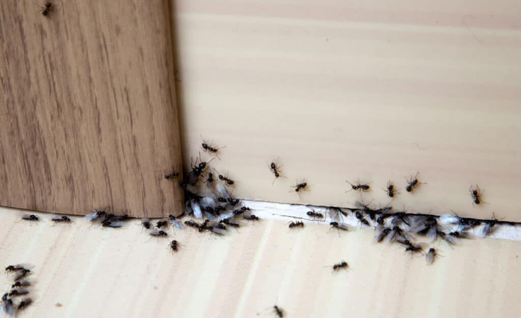 Ants in and on a skirting board in a house