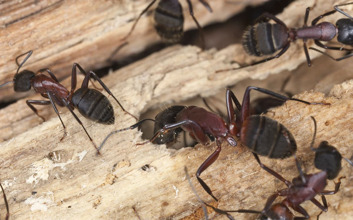 Carpenter ants on wood, tunneling