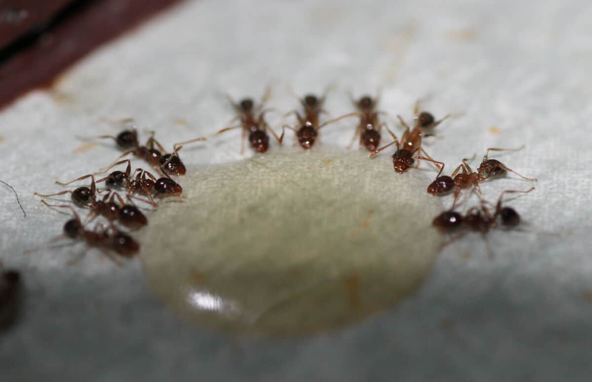 Ants consuming a gel based ant bait