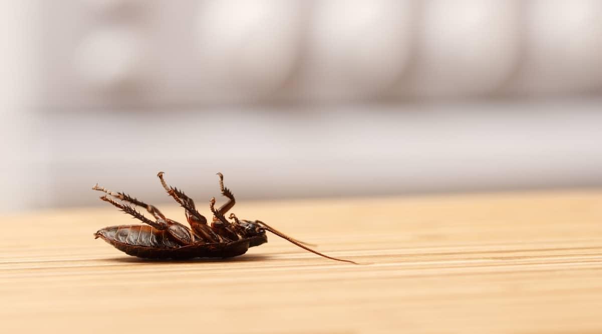 Dead Roach on Counter