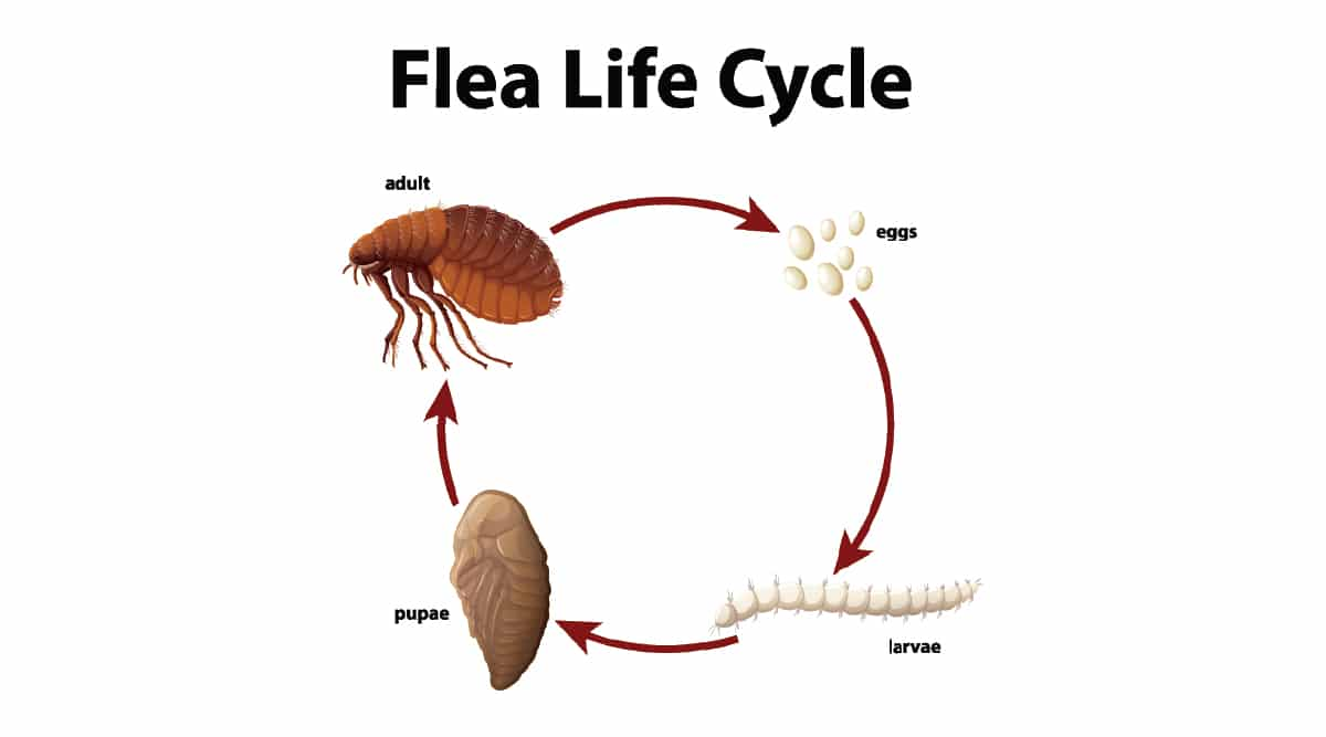 Flea Life Cycle Diagram