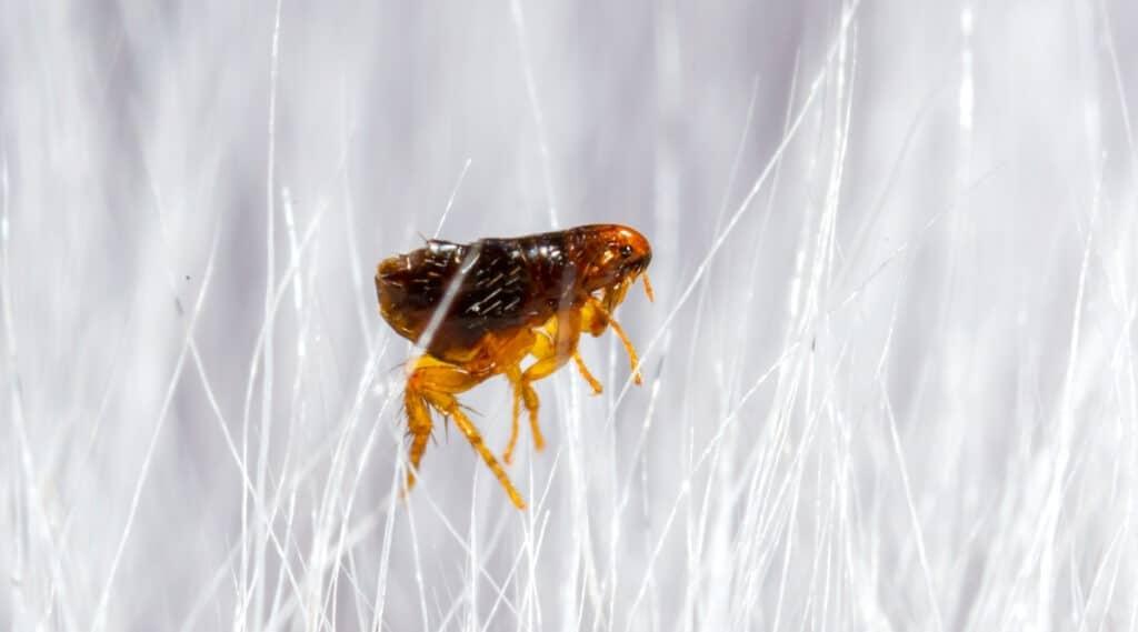 Flea in dog fur