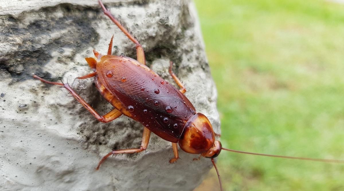 Palmetto bug on a rock