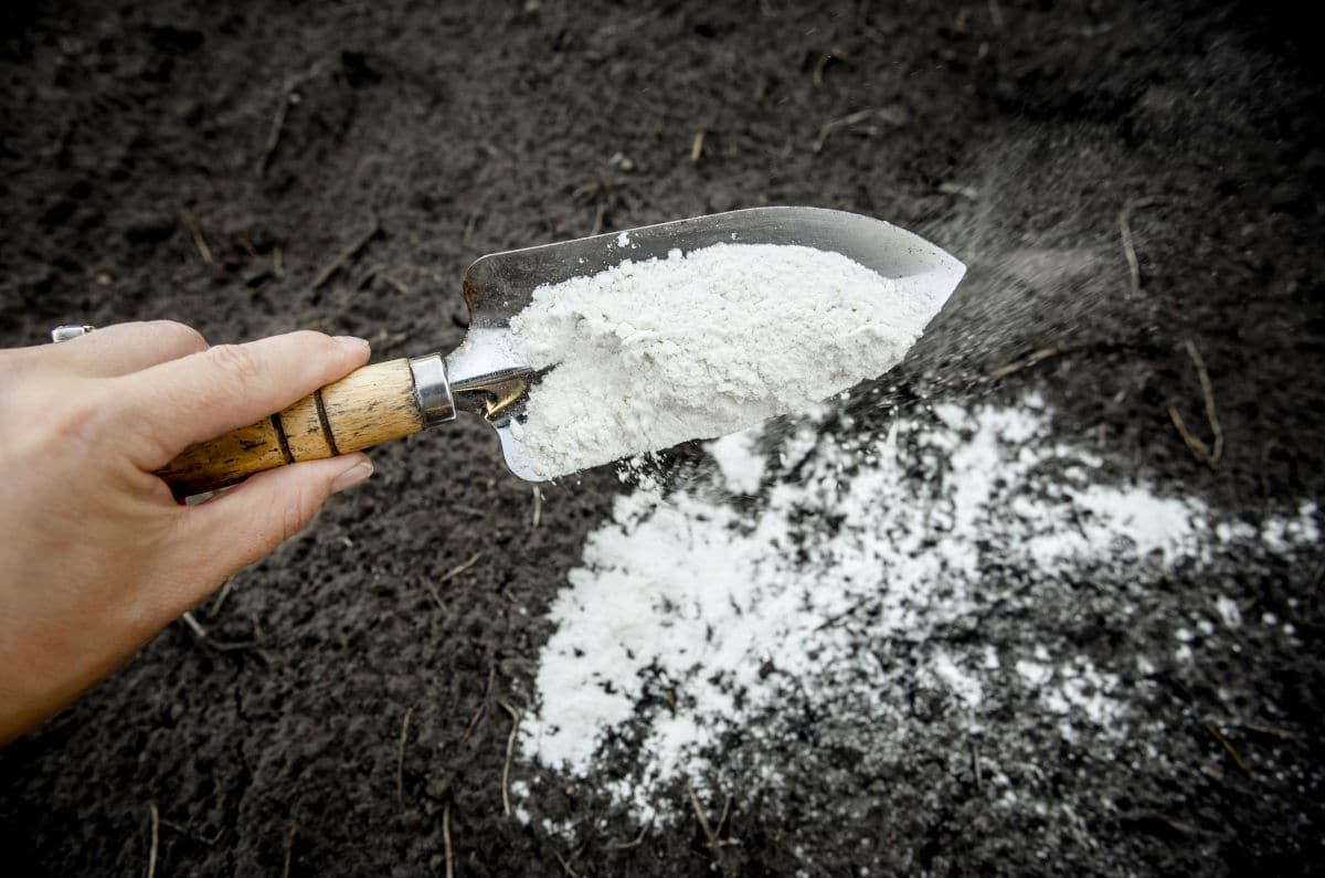 A gardener applying baking soda mix bait to an ant hill