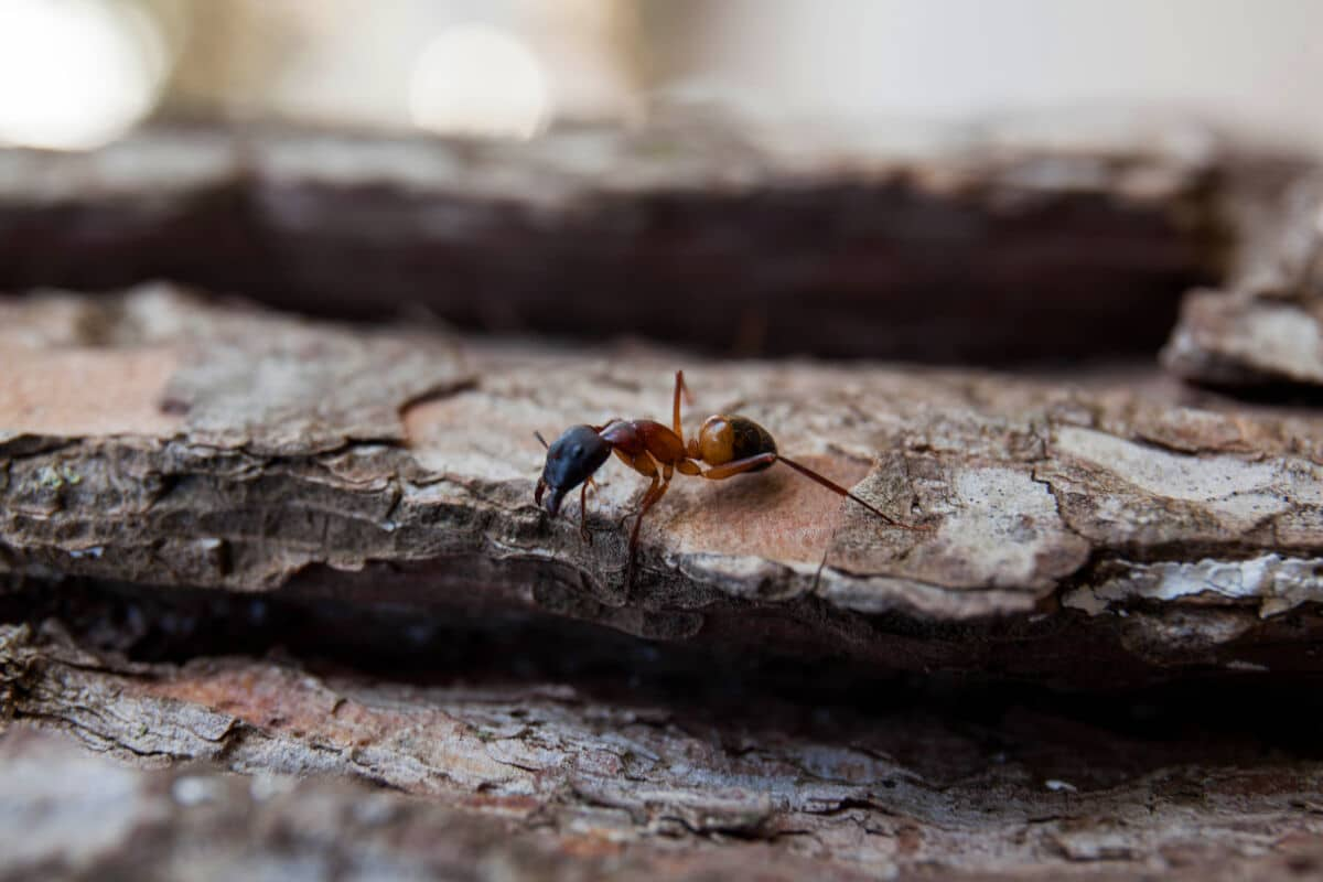 Close up of a sugar ant on some tree bark