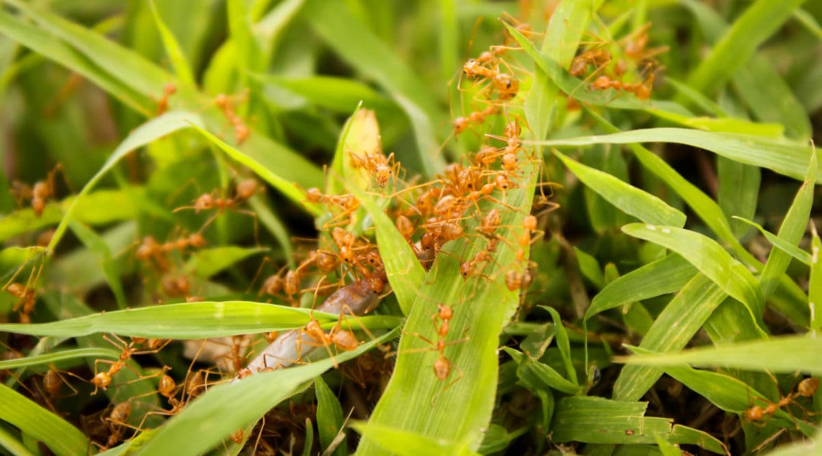 Lots of red ants on a grass lawn