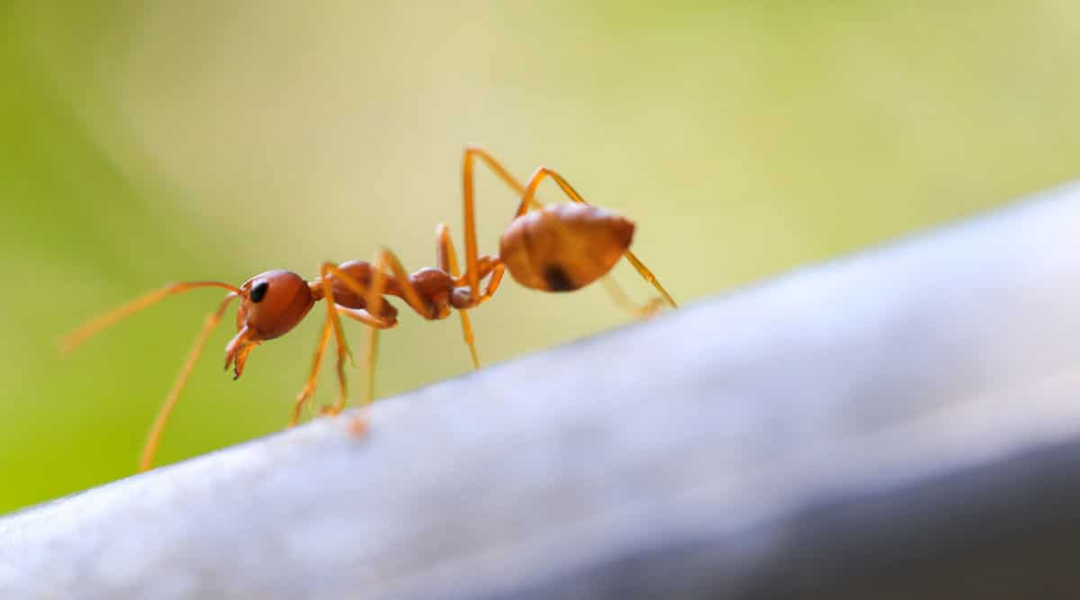 Macro shot of a fire ant in nature