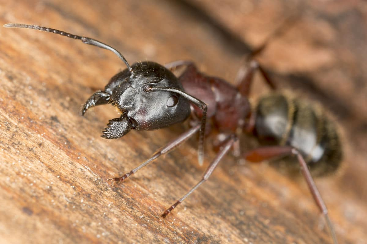 Close up of a carpenter ant head on