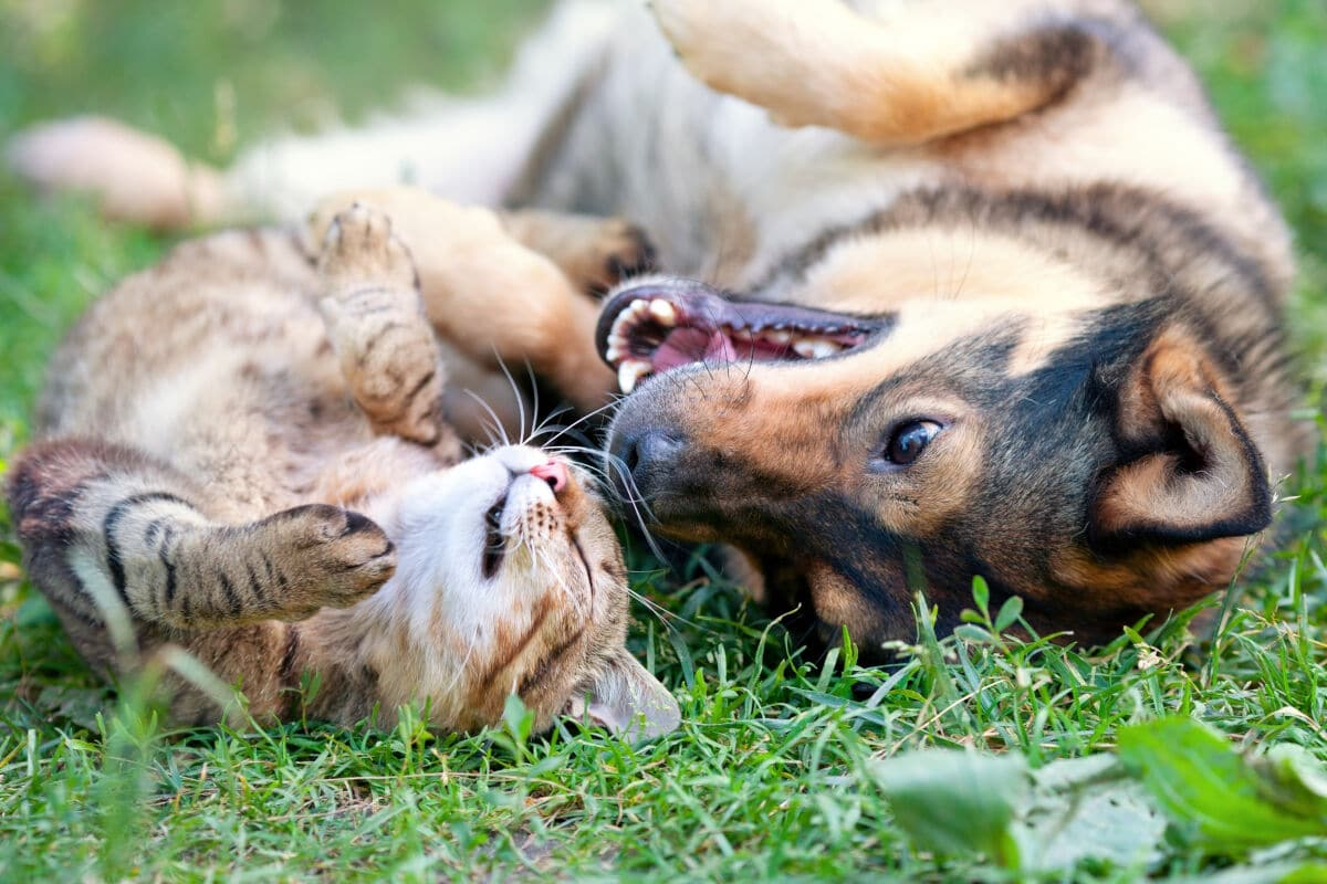 A dog can cat rolling around on grass together