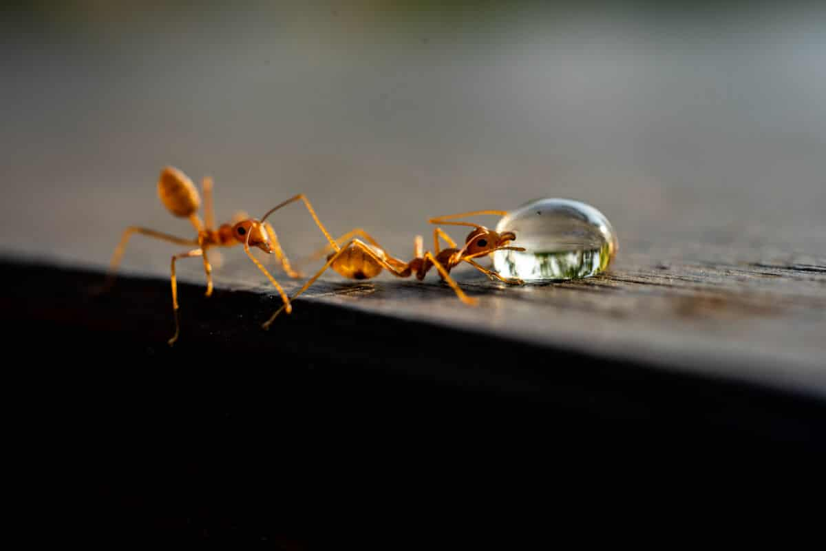 Fire ants eating or drinking a liquid