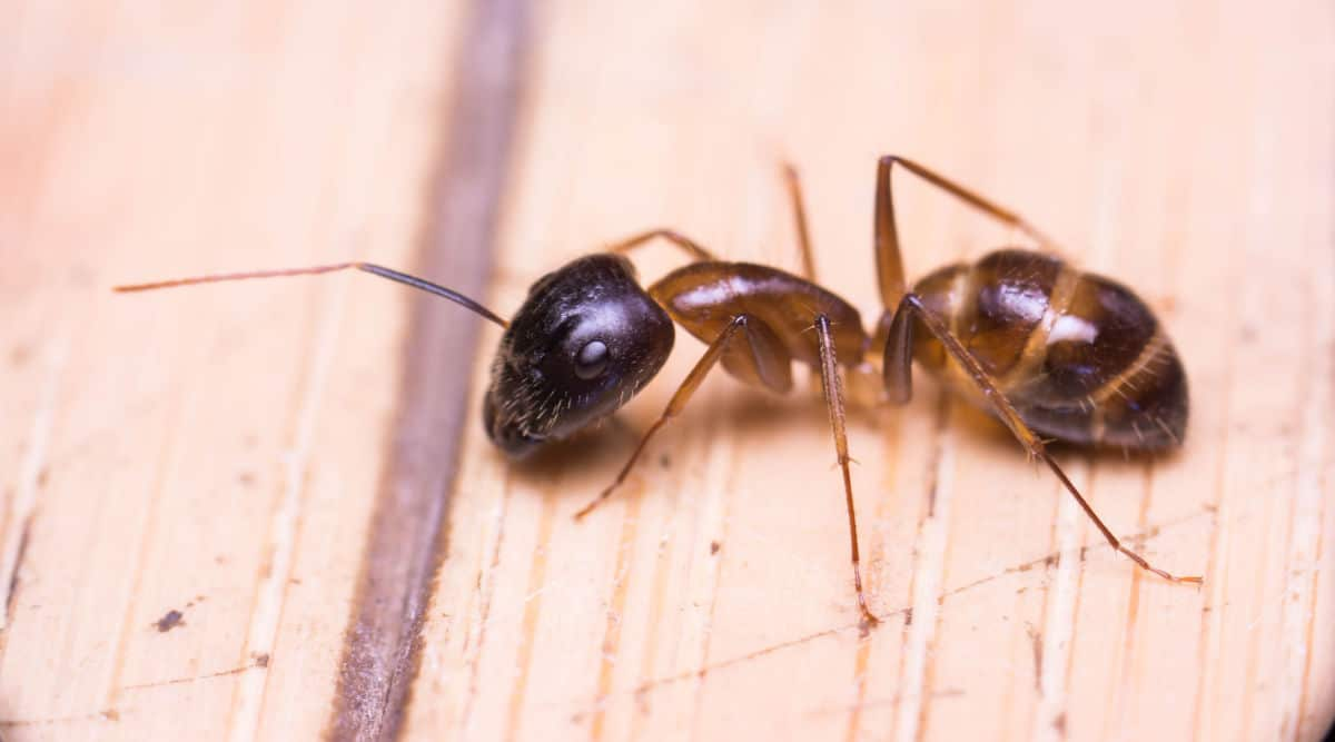 Close up of a banded sugar ant