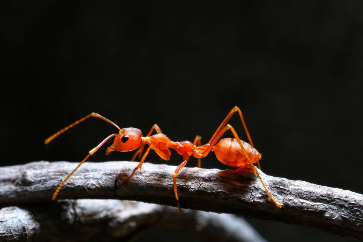 Close up macro shot of a fire ant