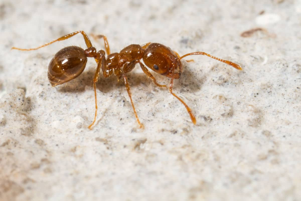 Close up side view of a fire ant