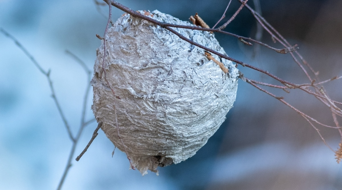 Hornets nest in tree