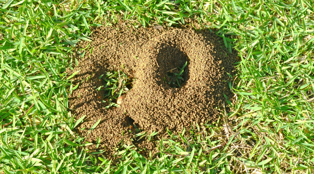 Circular ant hills on a grass lawn