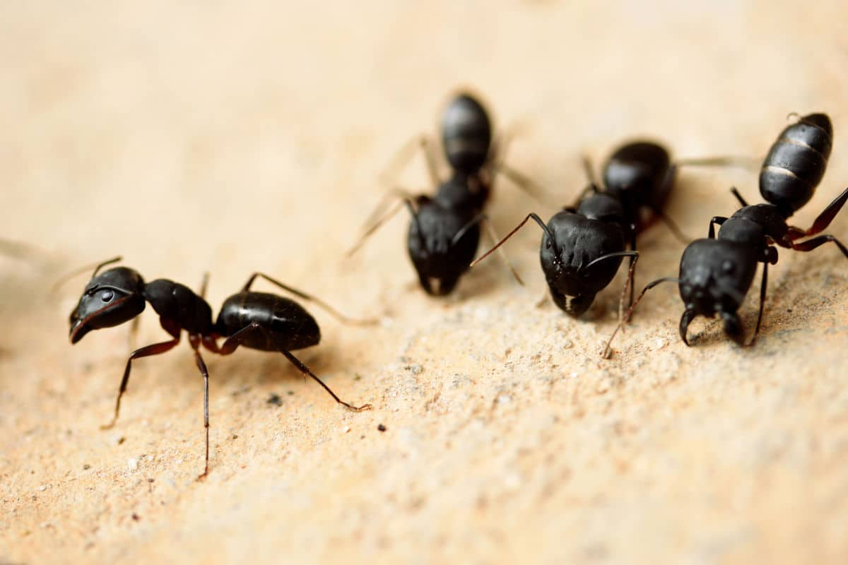 A group of carpenter ants chewing on a light colored wooden board