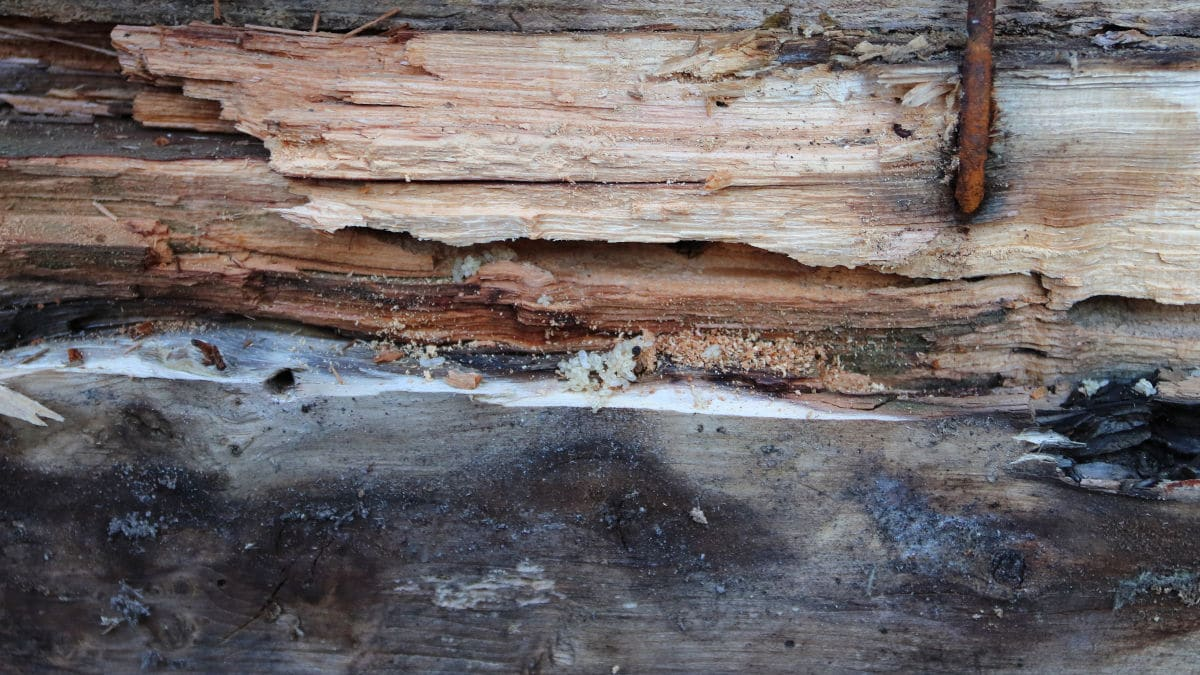 carpenter ant damage to wood inside of a home