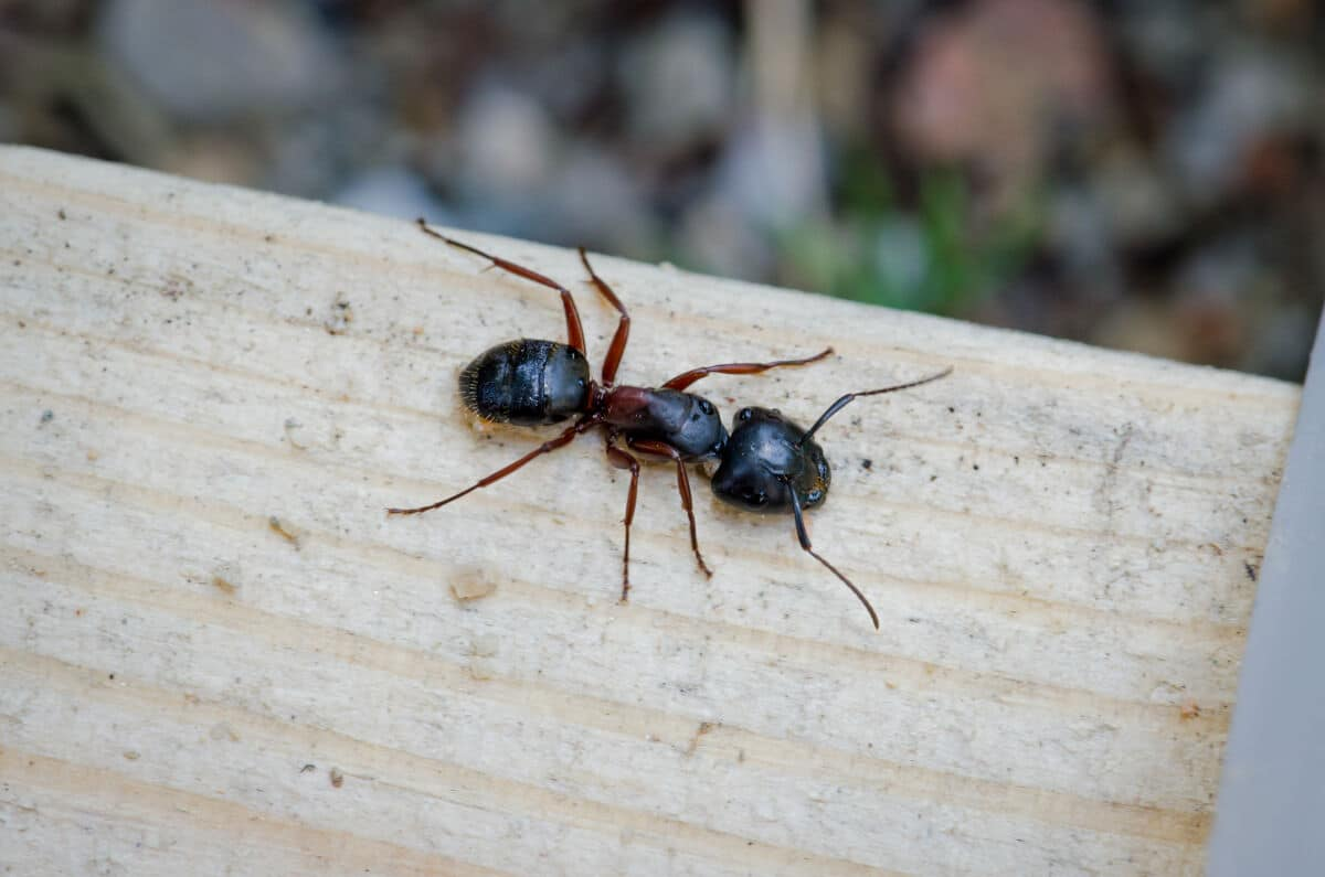 lose up of a black carpenter ant on a wooden plank