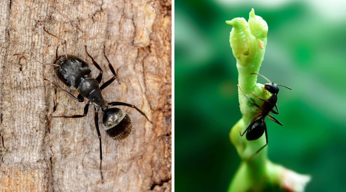 1 photo each of a macro shot of a carpenter ant and a black ant, side by side