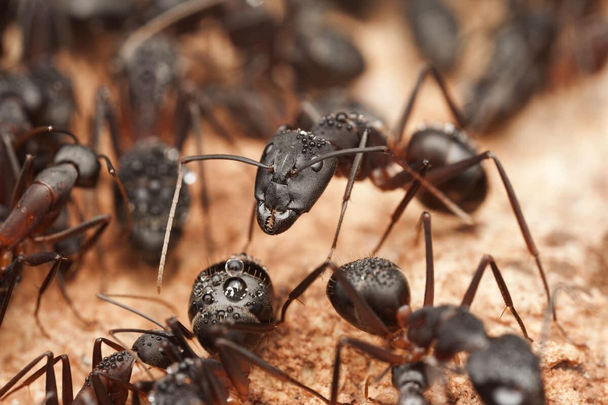 Close up shot of a group of carpenter ants