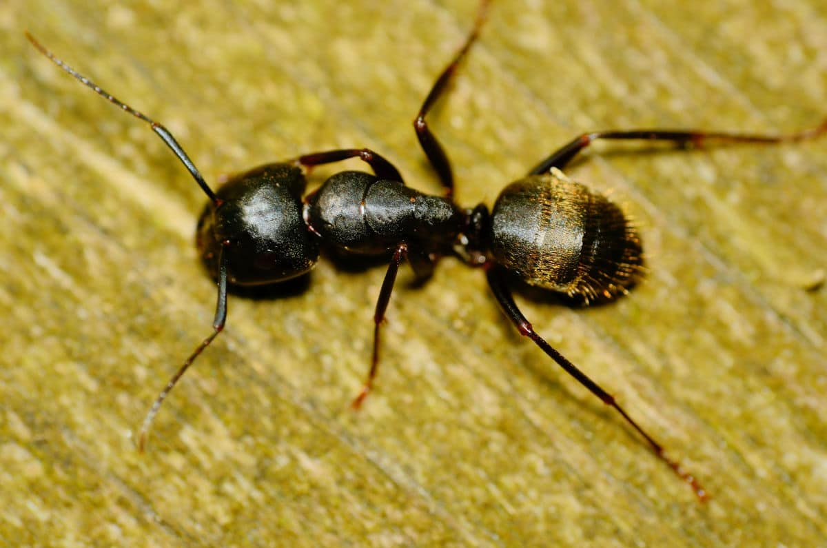 Macro shot from above of a carpenter ant on a wooden surface