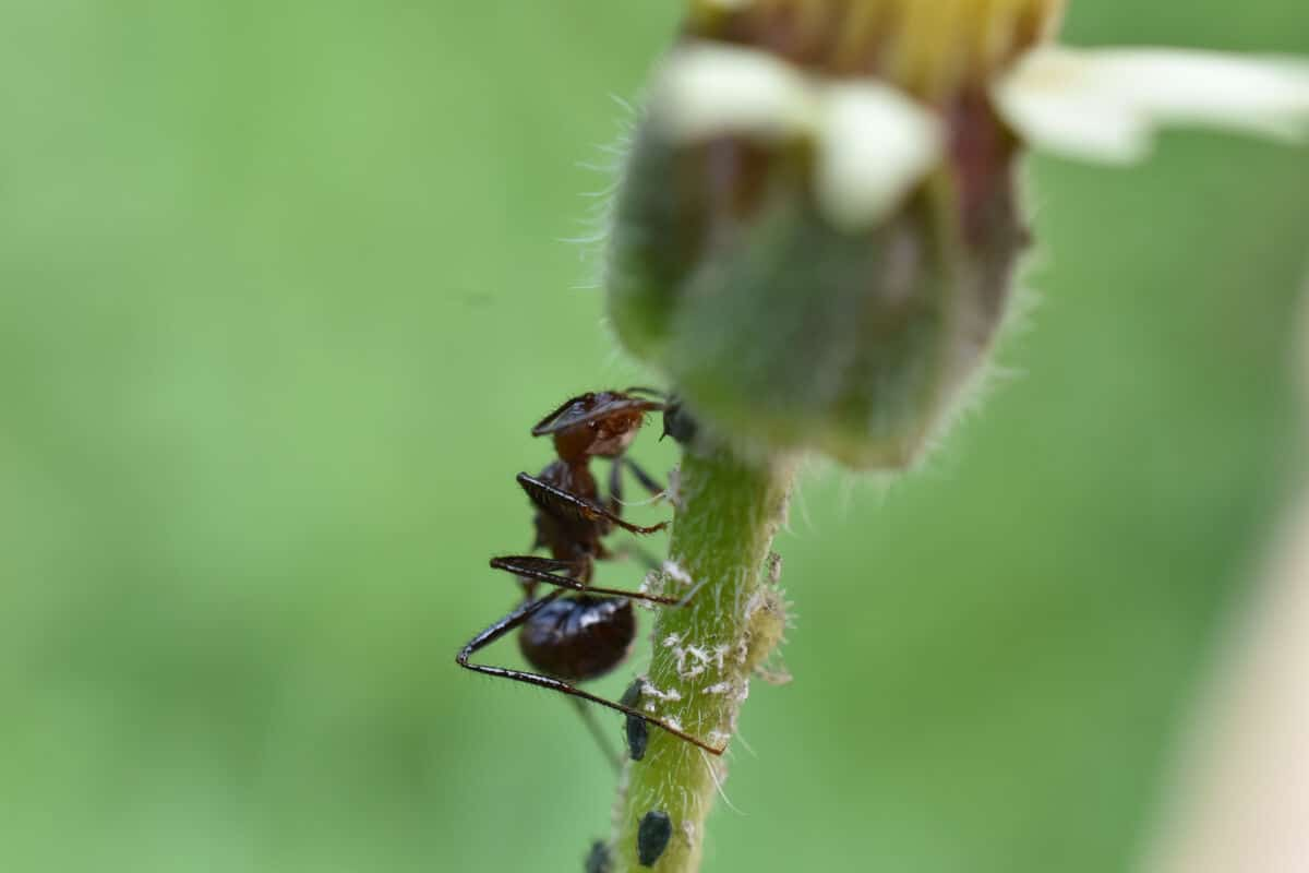 Close up of two types of ants clinging to a plant stalk