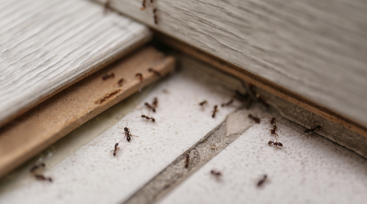 Ants Crawling Indoors
