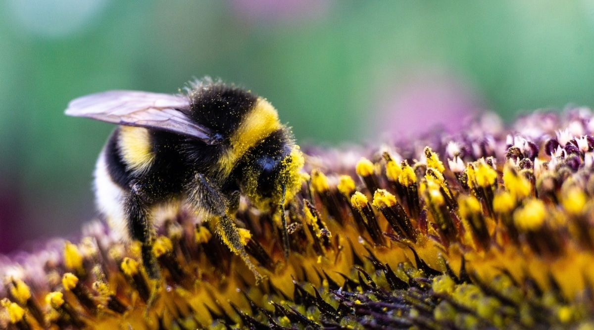 Bumblebee with Sunflower