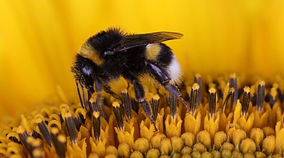 Bumblebee pollenating flower