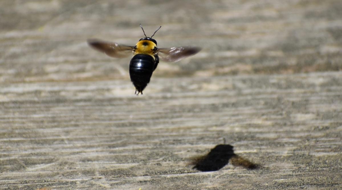 Carpenter Bee Landing on Wood