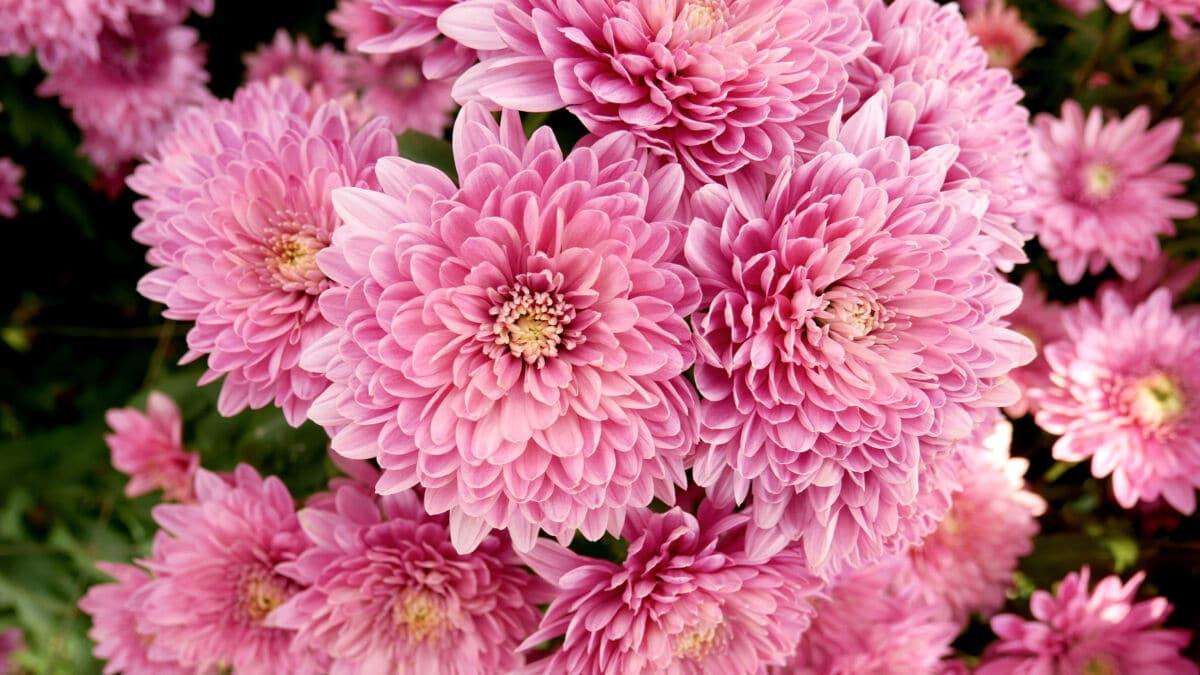 Photo of some pink flowering Chrysanthemums