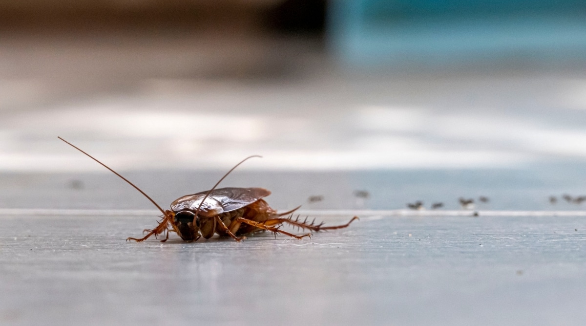 Dying Roach on Ground