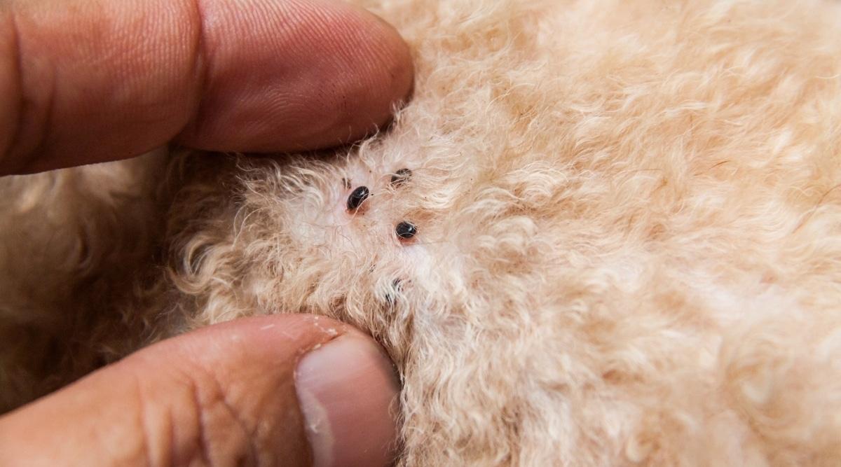 Flea on Dog Fur