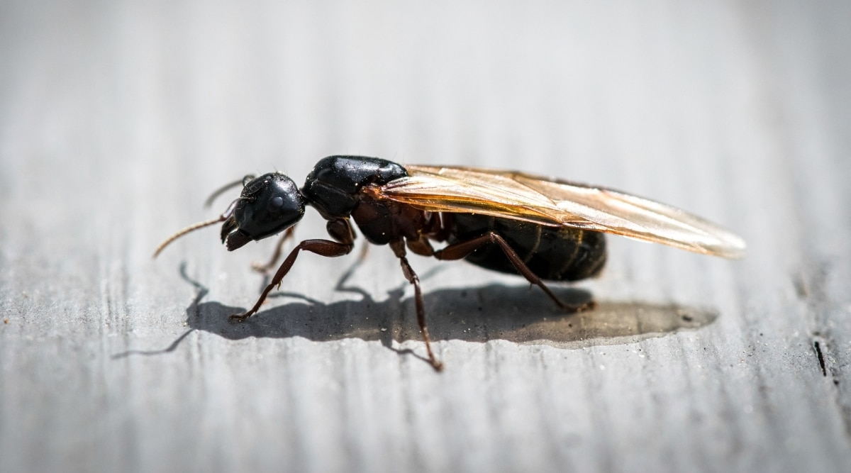 Flying Ant on Wood Table